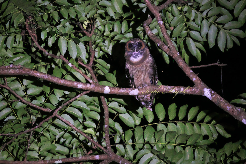 *オオフクロウ(Brown Wood-Owl)_d0013455_21415215.jpg
