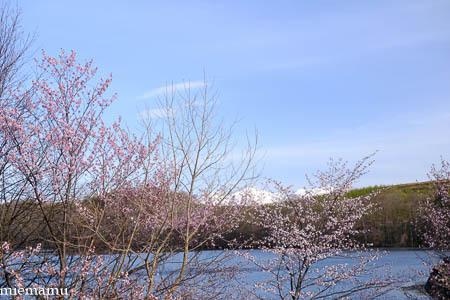 桜と野鳥さんとVOL.2~5月の聖台ダム2021_d0340565_20161343.jpg