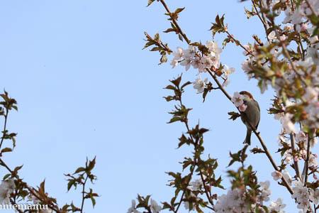 桜と野鳥さんとVOL.2~5月の聖台ダム2021_d0340565_20162365.jpg