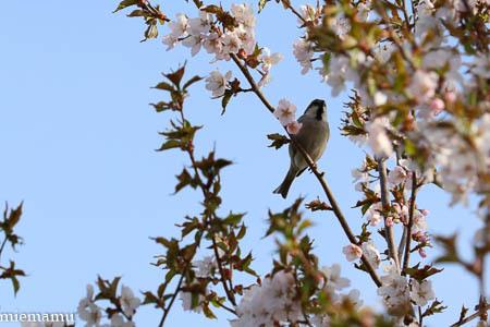 桜と野鳥さんとVOL.2~5月の聖台ダム2021_d0340565_20162968.jpg