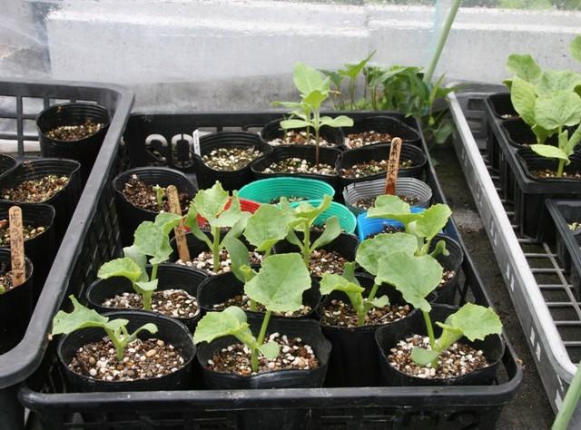 北摂の5月の夏野菜の苗~♬_f0229190_11115149.jpg
