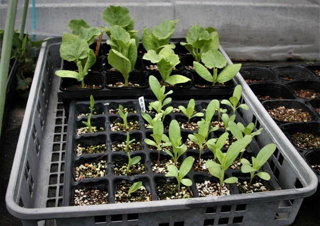 北摂の5月の夏野菜の苗~♬_f0229190_11154643.jpg