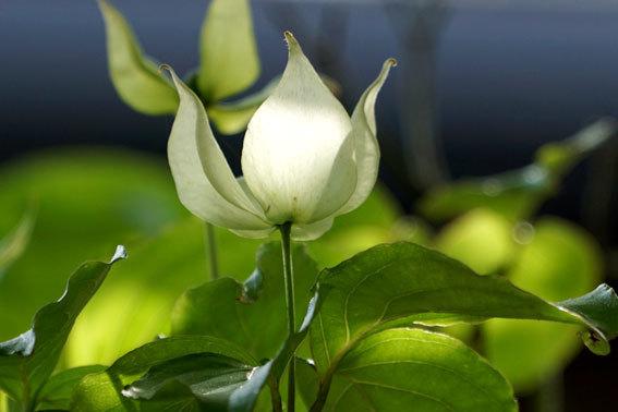 新緑に白い妖精_b0145296_16105844.jpg