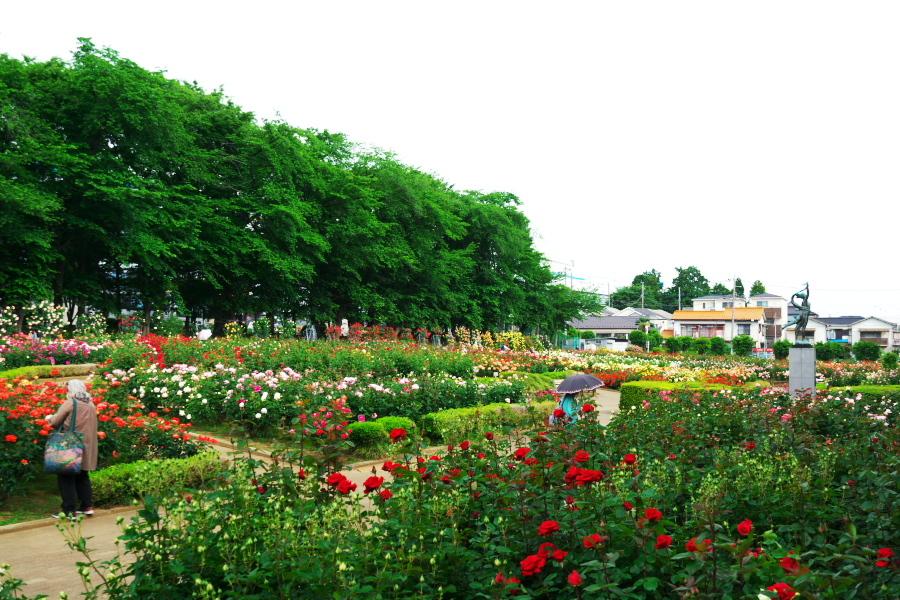 さいたま市 与野公園の薔薇園1_a0263109_16061801.jpg