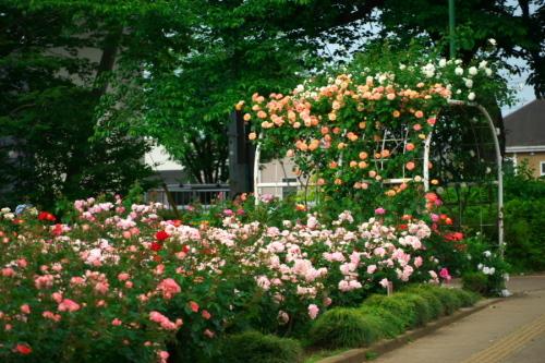 さいたま市 与野公園の薔薇園1_a0263109_16061814.jpg