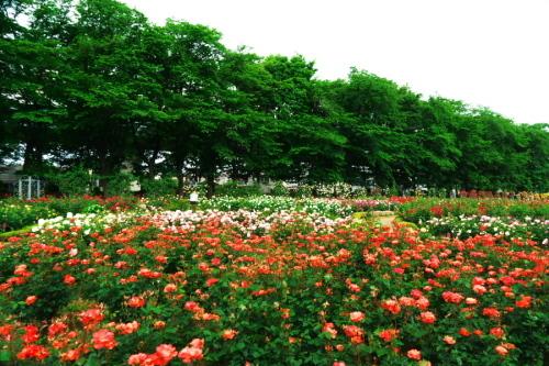 さいたま市 与野公園の薔薇園1_a0263109_16061865.jpg