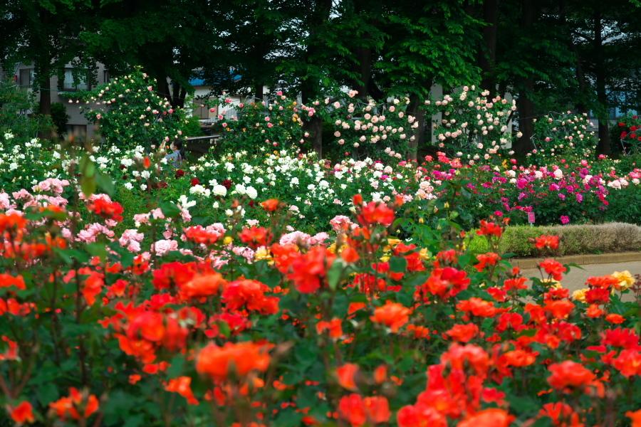 さいたま市 与野公園の薔薇園1_a0263109_16061931.jpg