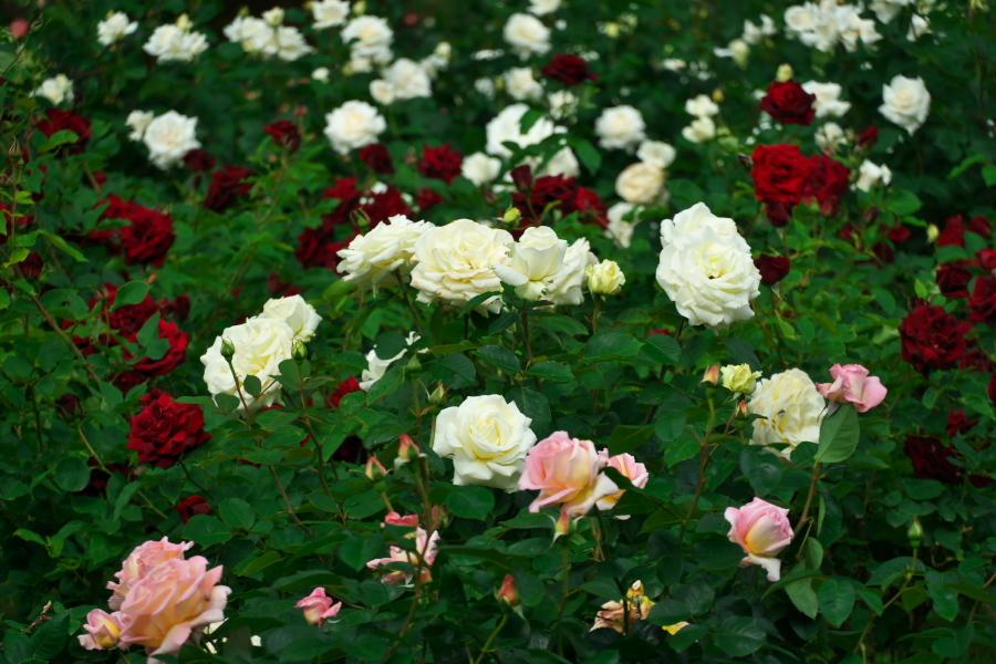 さいたま市 与野公園の薔薇園1_a0263109_16061939.jpg