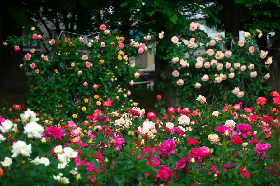 さいたま市 与野公園の薔薇園1_a0263109_16061945.jpg