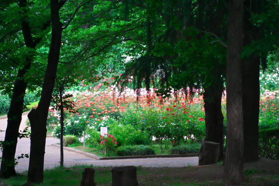 さいたま市 与野公園の薔薇園1_a0263109_16062054.jpg