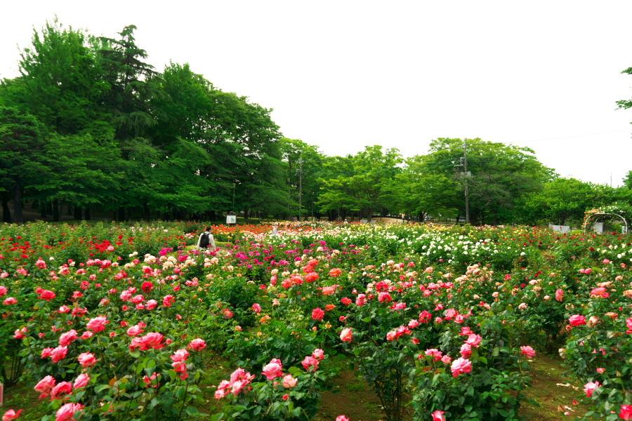 さいたま市 与野公園の薔薇園1_a0263109_16071215.jpg