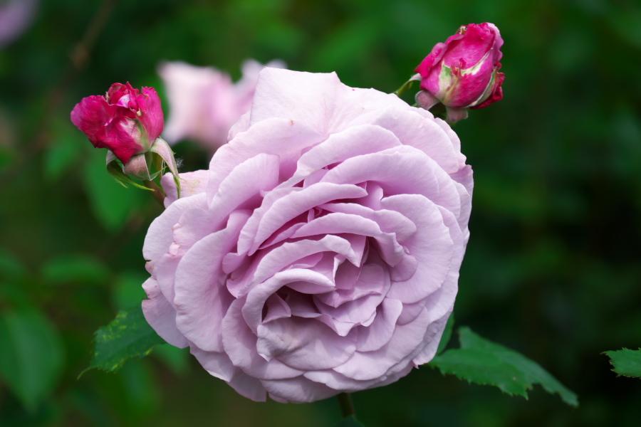 さいたま市 与野公園の薔薇園1_a0263109_16071303.jpg