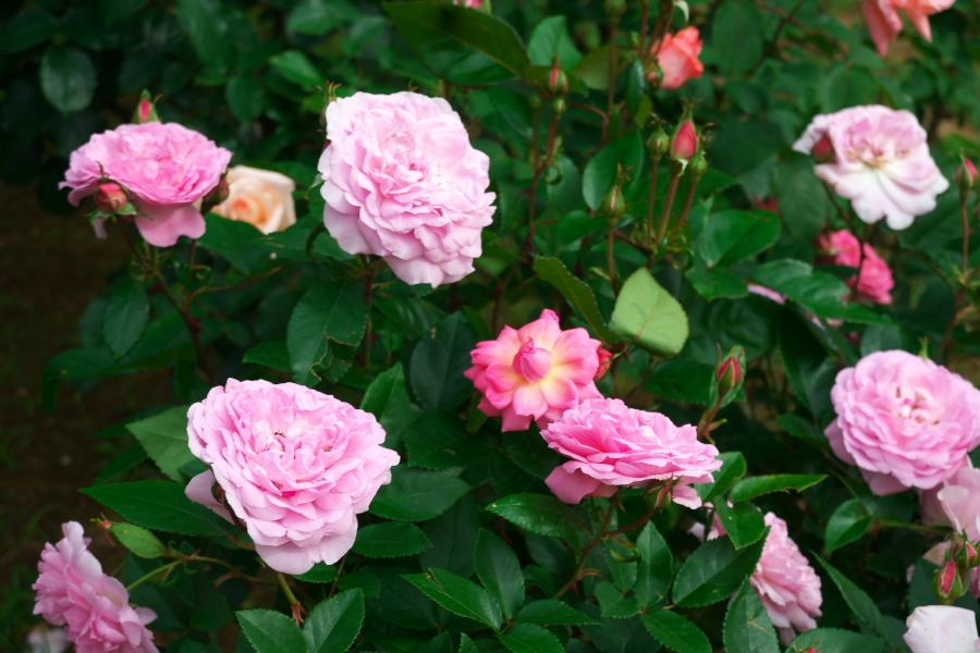 さいたま市 与野公園の薔薇園1_a0263109_16071343.jpg
