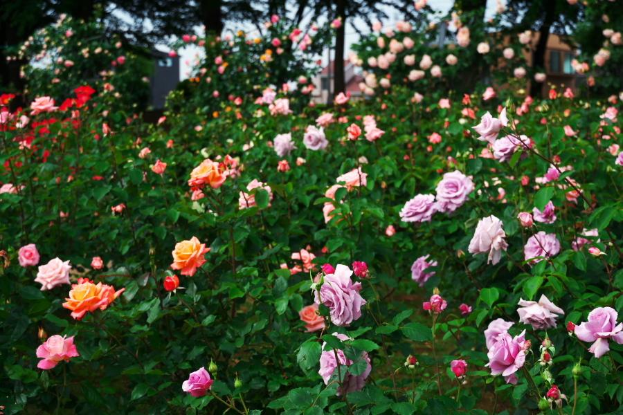 さいたま市 与野公園の薔薇園1_a0263109_16071352.jpg