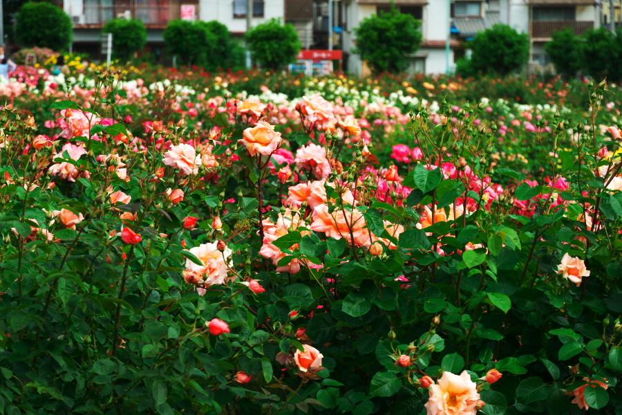 さいたま市 与野公園の薔薇園1_a0263109_16071363.jpg