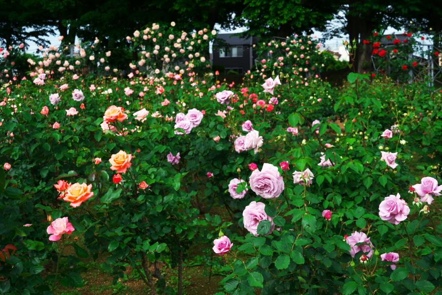 さいたま市 与野公園の薔薇園1_a0263109_16071399.jpg