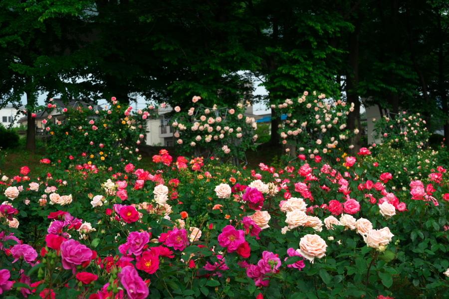 さいたま市 与野公園の薔薇園1_a0263109_16071420.jpg