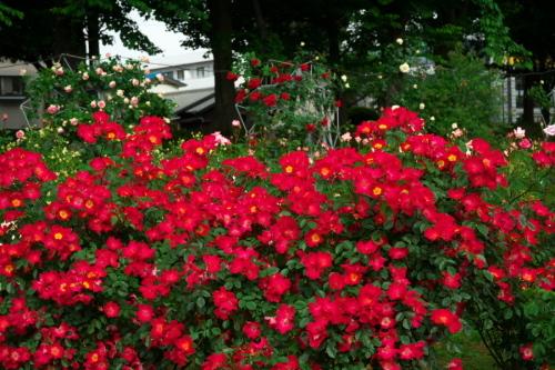 さいたま市 与野公園の薔薇園1_a0263109_16071489.jpg