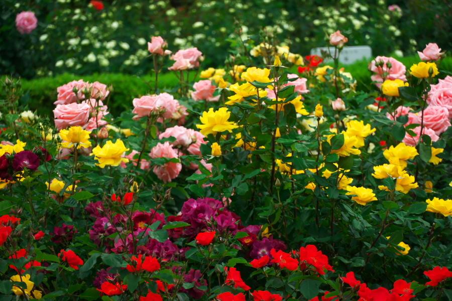 さいたま市 与野公園の薔薇園1_a0263109_16071490.jpg