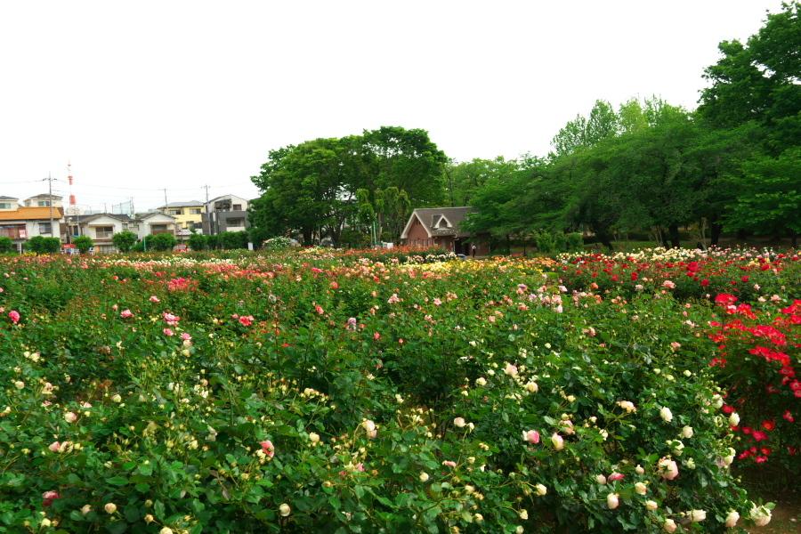 さいたま市 与野公園の薔薇園1_a0263109_16071499.jpg