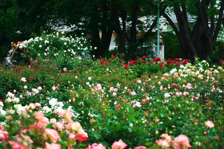 さいたま市 与野公園の薔薇園1_a0263109_16074815.jpg