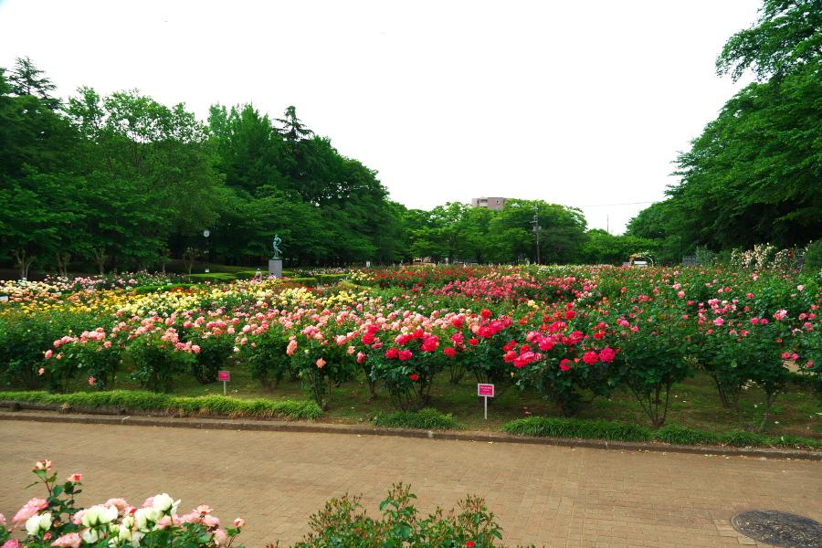 さいたま市 与野公園の薔薇園1_a0263109_16074839.jpg