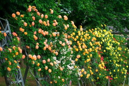 さいたま市 与野公園の薔薇園1_a0263109_16074870.jpg
