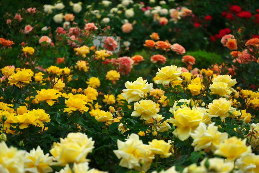 さいたま市 与野公園の薔薇園1_a0263109_16074874.jpg