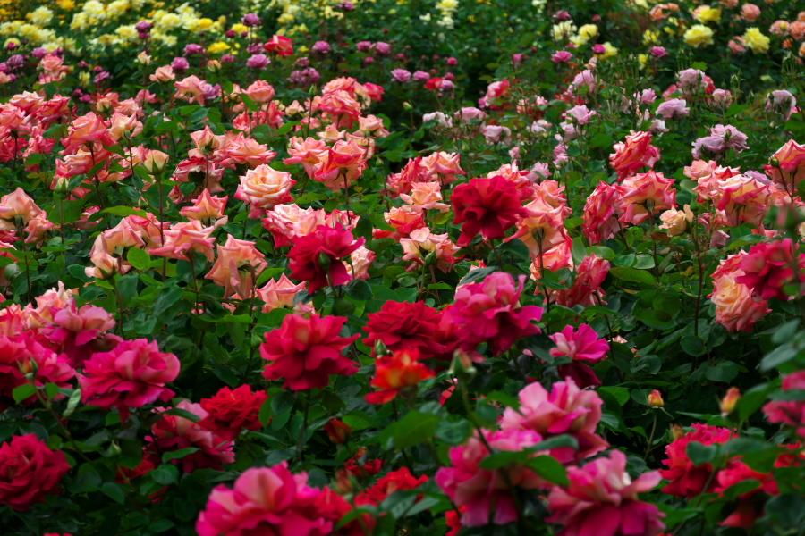 さいたま市 与野公園の薔薇園1_a0263109_16074886.jpg