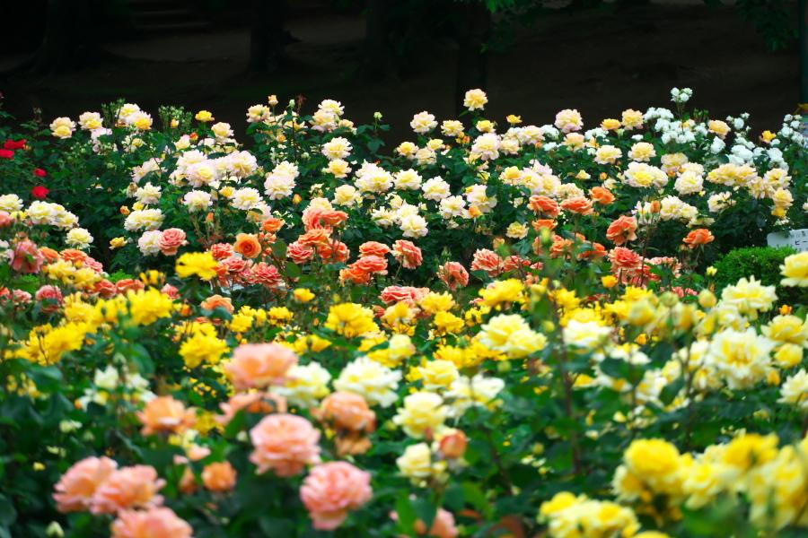 さいたま市 与野公園の薔薇園1_a0263109_16074964.jpg