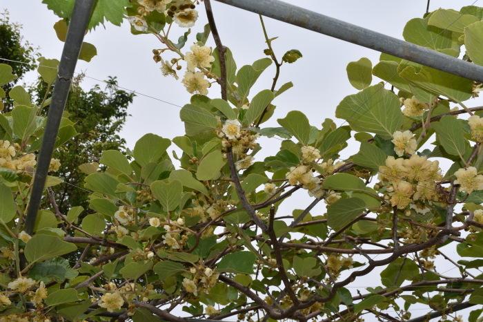 キウイは雌雄で開花日がズレます。_f0189218_10362040.jpg