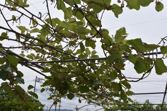 キウイは雌雄で開花日がズレます。_f0189218_10363696.jpg