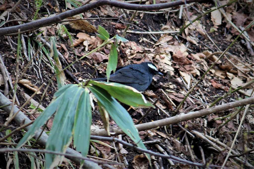 マミジロ(眉白:Turdus sibiricus)_a0393942_18055412.jpg