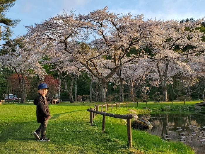 長万部公園の桜。絶好調。_d0164343_19221155.jpg