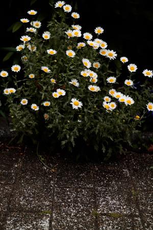 花のある風景 街中のマーガレット_b0133053_23561212.jpg