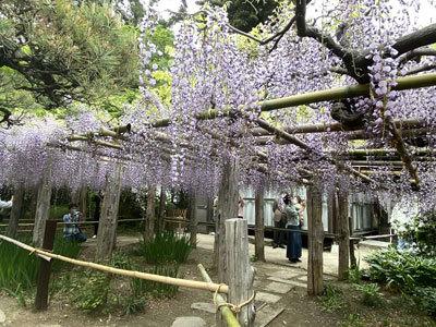 子平町の藤_c0050264_21561056.jpg
