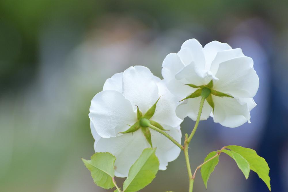 バラを撮る_b0183370_13584785.jpg