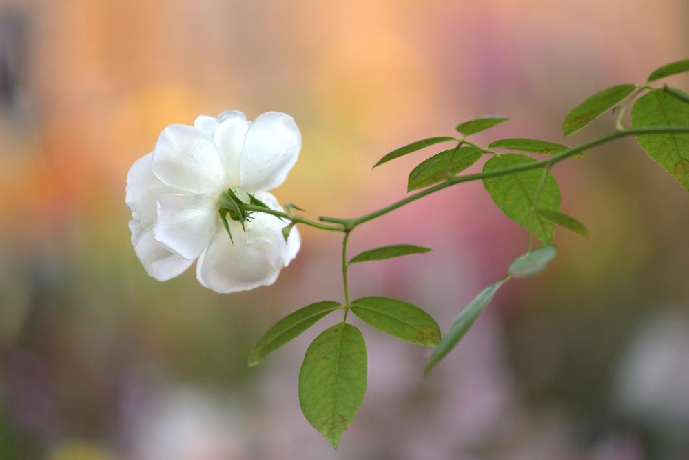 バラを撮る_b0183370_13585594.jpg