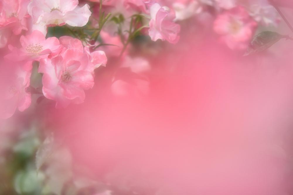 バラを撮る_b0183370_13590725.jpg