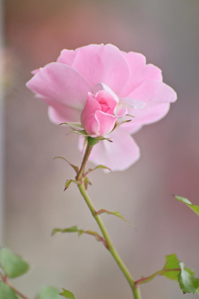 バラを撮る_b0183370_13593631.jpg