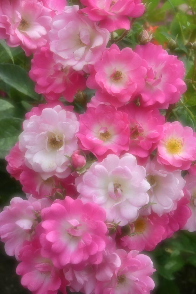 バラを撮る_b0183370_13594532.jpg