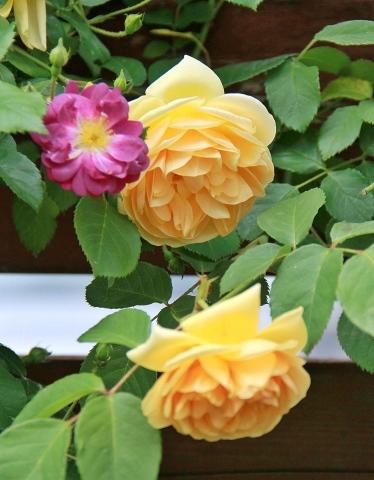 ◆ランブラーも咲き出した!_e0154682_21473082.jpg