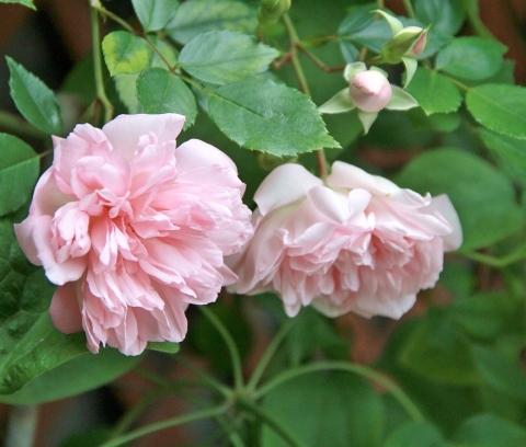 ◆ランブラーも咲き出した!_e0154682_21490629.jpg