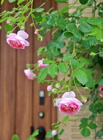 ◆ランブラーも咲き出した!_e0154682_21514543.jpg