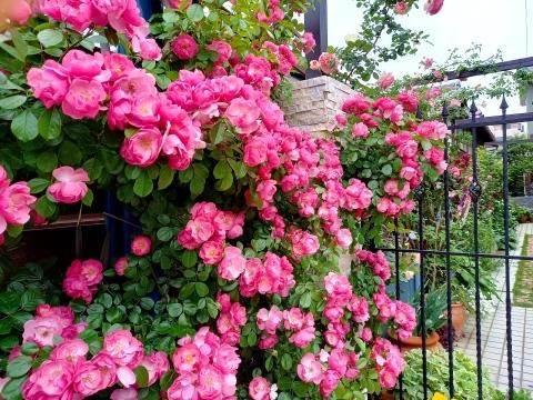 ◆ランブラーも咲き出した!_e0154682_21534670.jpg