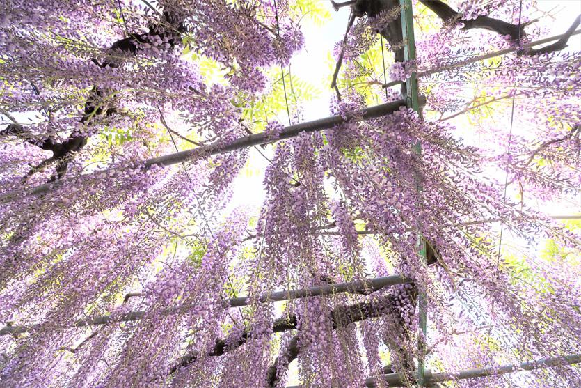 藤の花_e0291438_15022515.jpg