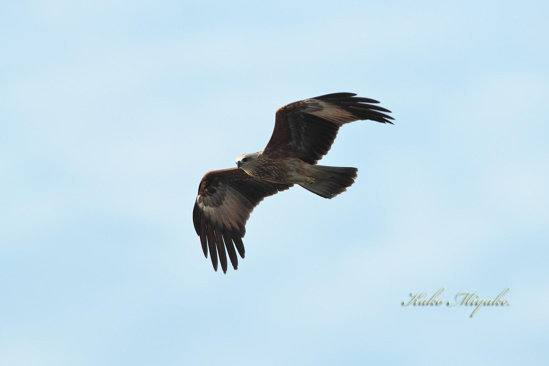 シロハラウミワシ(White-bellied Fish-Eagle) Juvenile_d0013455_15223748.jpg