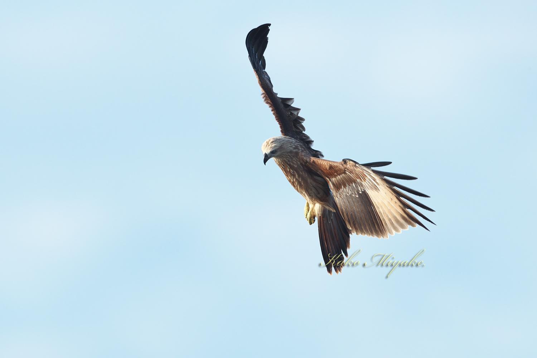 シロハラウミワシ(White-bellied Fish-Eagle) Juvenile_d0013455_15224086.jpg