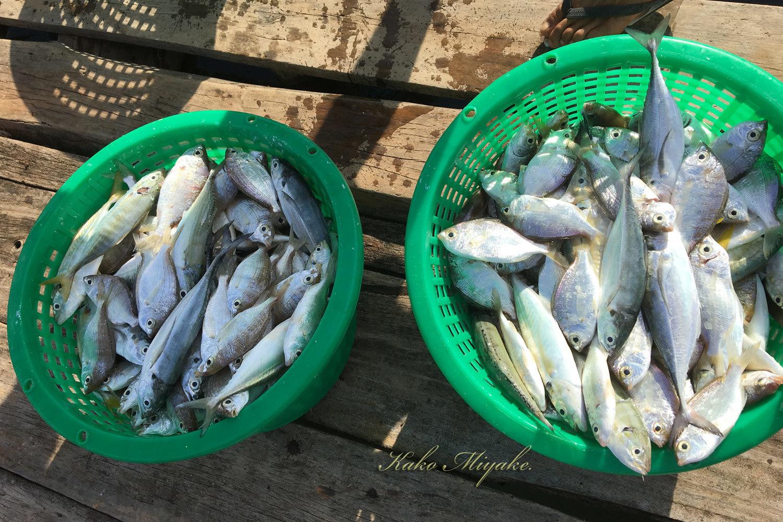 シロハラウミワシ(White-bellied Fish-Eagle) Juvenile_d0013455_15225035.jpg