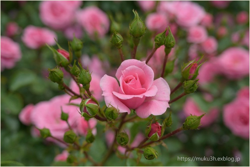 春薔薇_c0124256_12545759.jpg